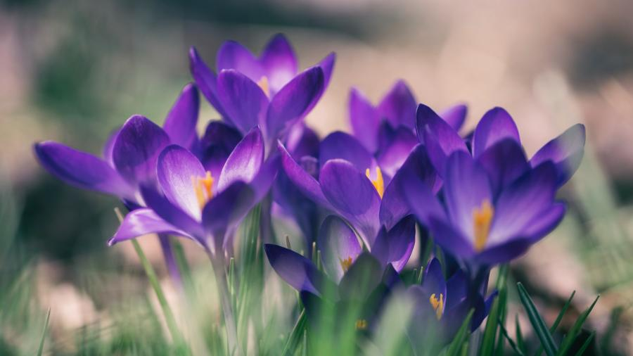 Lilla krokus blomster