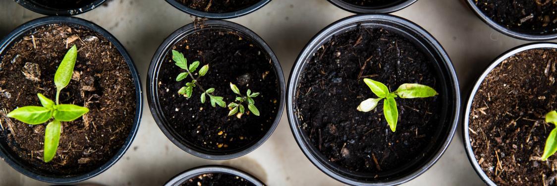 Forspirede grønne planter i potter set ovenfra